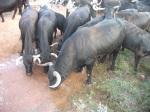 Toros en La Risca - Casas de Guijarro